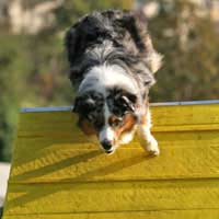 Pulling Agility Flyball Disc Dog Musical